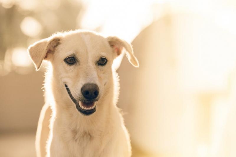 边牧难产会怎样狗狗难产的原因有哪些